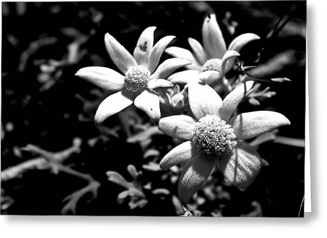 Flannel Flower Greeting Card by Miroslava Jurcik