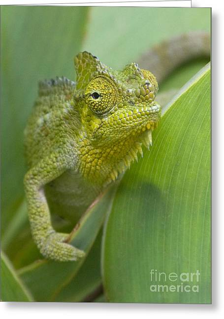 Greeting Card featuring the photograph Flap-necked Chameleon by Chris Scroggins