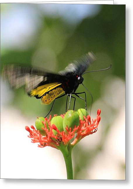 Flapping Wings Greeting Card by Rosalie Scanlon