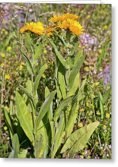 Fleabane (inula Oculus-solis) In Flower Greeting Card