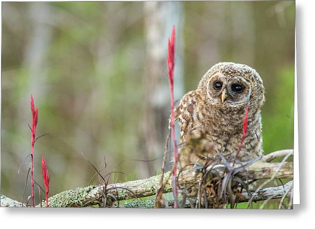 Fledgling Barred Owl (strix Varia Greeting Card by Chuck Haney