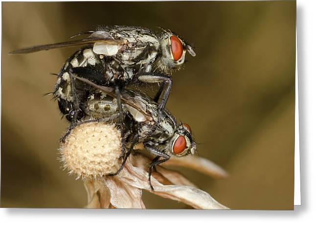 Flesh-flies Mating Greeting Card by Nigel Downer
