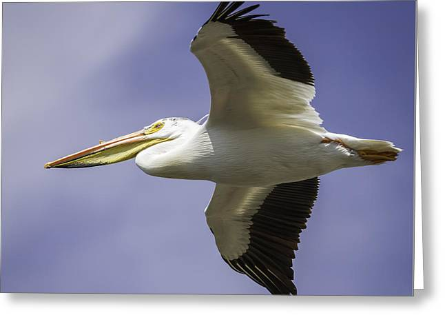 Flight Of The American White Pelican Greeting Card by Thomas Young