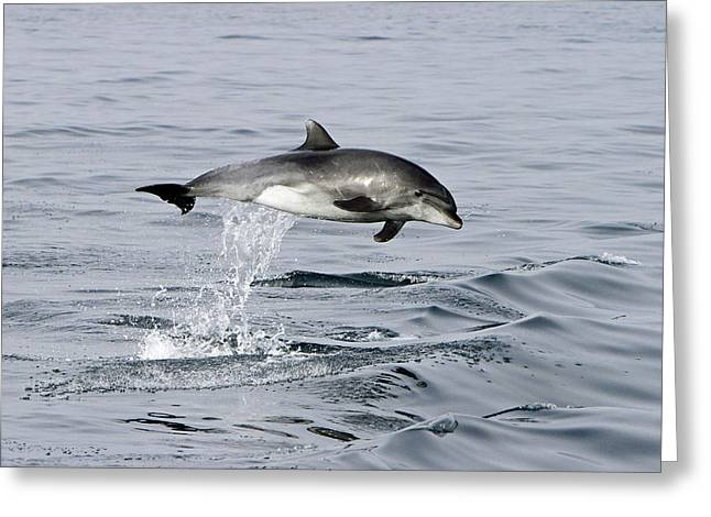 Flight Of The Dolphin Greeting Card