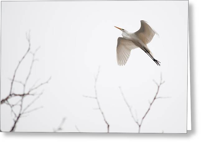 Flight Of The Egret 1  Greeting Card