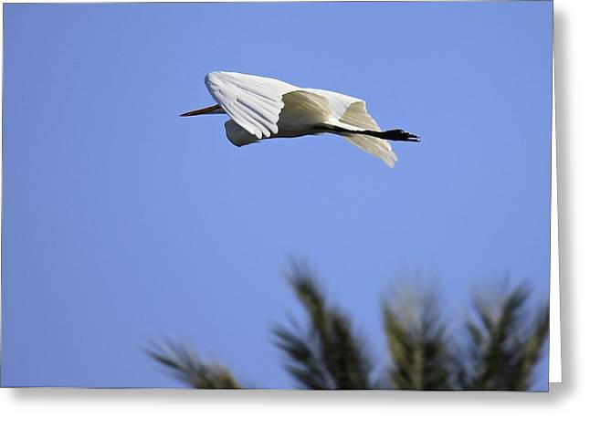 Greeting Card featuring the photograph Flight Of The Egret by Penny Meyers