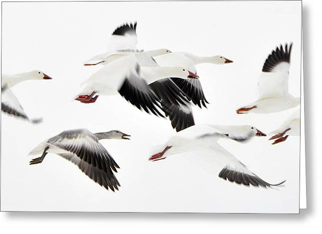 Flight Of The Snow Geese Greeting Card by Dan Myers