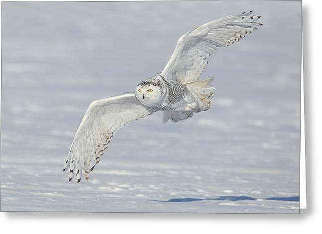 Flight Of The Snowy Greeting Card by Daniel Behm
