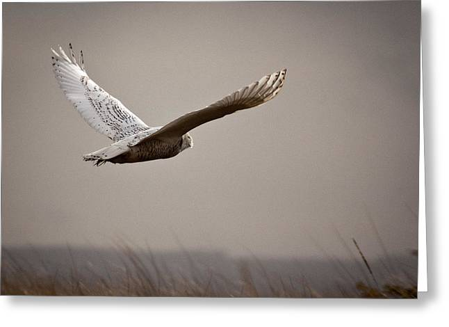 Greeting Card featuring the photograph Flight Of The Snowy Owl by Erin Kohlenberg