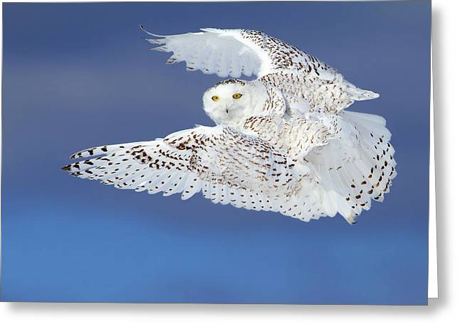 Flight Of The Snowy - Snowy Owl Greeting Card