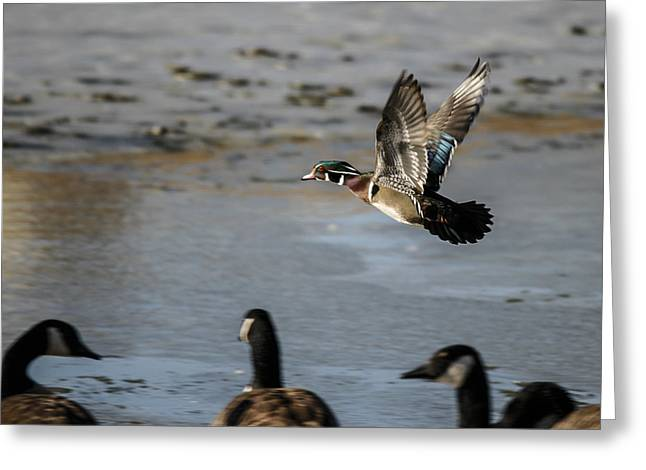 Flight Of The Wood Duck Greeting Card