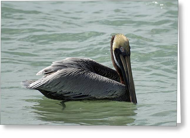 Floating Brown Pelican Greeting Card