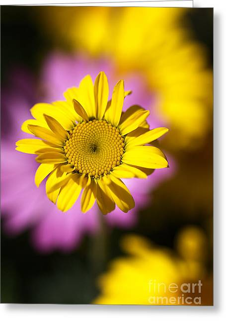 Greeting Card featuring the photograph Floating Daisy by Joy Watson