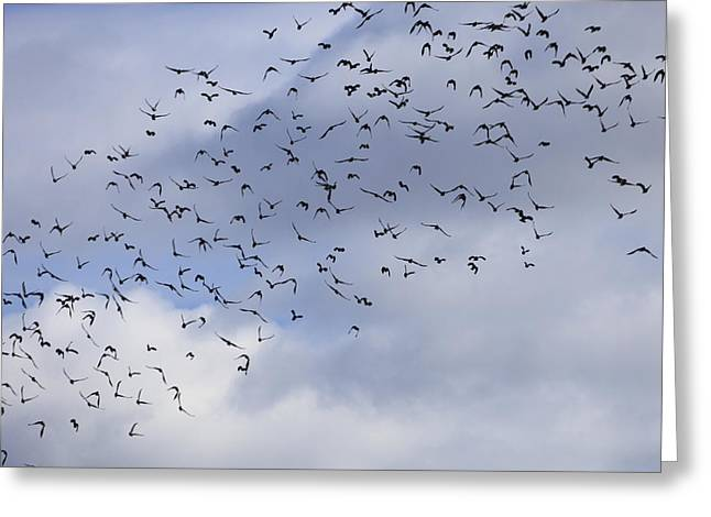 Flock Of Birds Rising - Available For Licensing Greeting Card