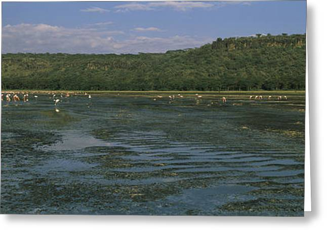 Flock Of Flamingos In A Lake, Lake Greeting Card by Panoramic Images