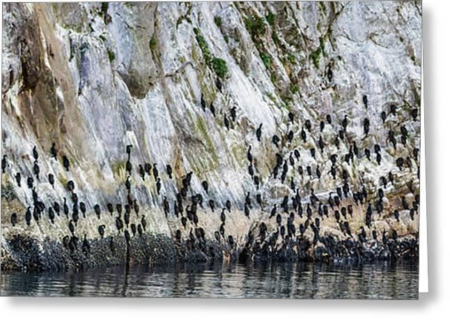 Flock Of Pelagic Cormorants Greeting Card by Panoramic Images