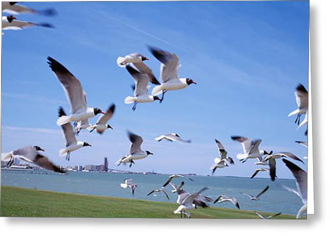 Flock Of Seagulls Flying On The Beach Greeting Card by Panoramic Images