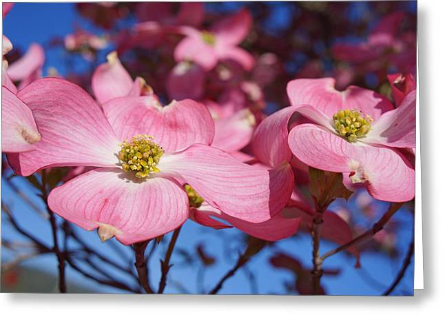 Floral Art Print Pink Dogwood Tree Flowers Greeting Card by Baslee Troutman