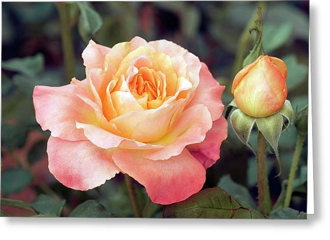 Floribunda Or Cluster Flowered Bush (fruite) Greeting Card by Brian Gadsby/science Photo Library