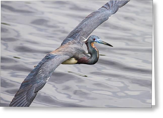 Florida Bird In Flight - Tri-colored Heron Greeting Card