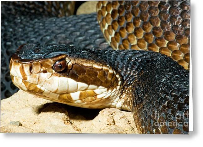 Florida Cottonmouth Snake Greeting Card by Millard H. Sharp