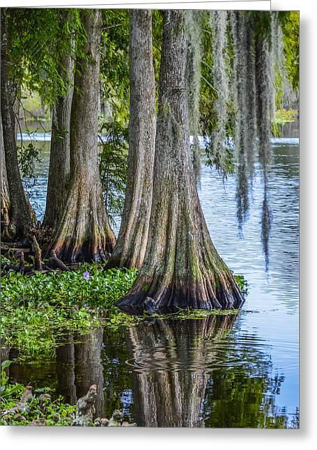 Florida Cypress Trees Greeting Card by Carolyn Marshall