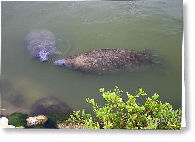Florida Manatee Pair Greeting Card