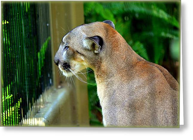 Florida Panther Greeting Card by Amanda Vouglas