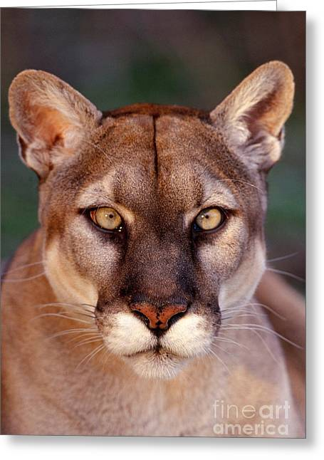 Florida Panther Greeting Card by Tom and Pat Leeson