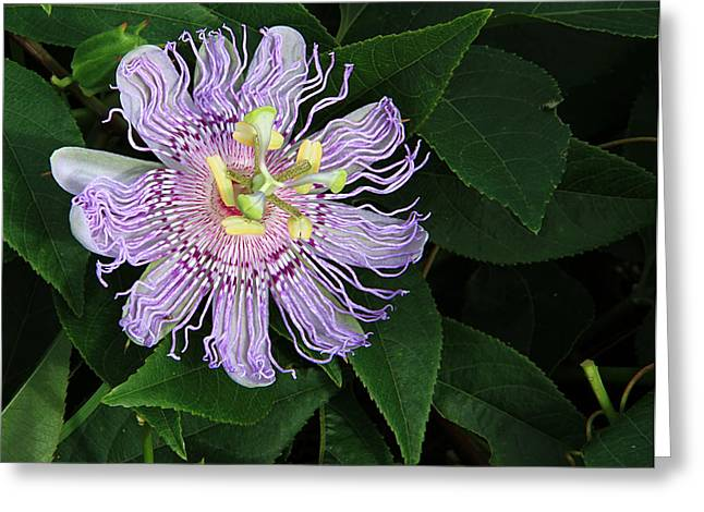 Florida Passion Flower Greeting Card