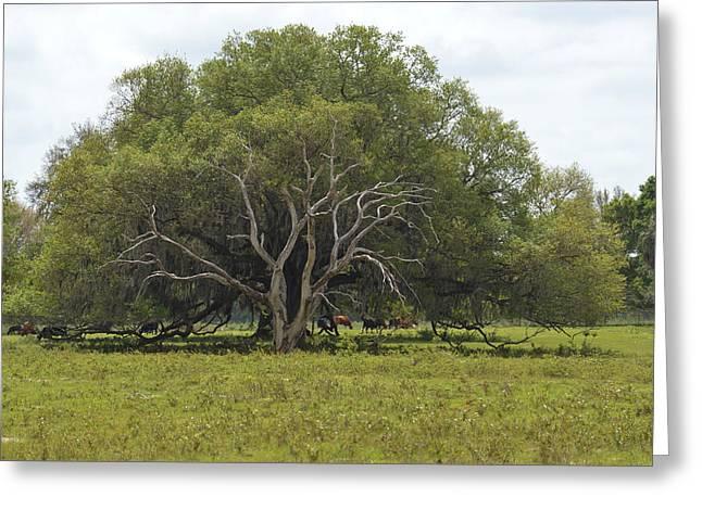 Florida Pasture Oak Greeting Card