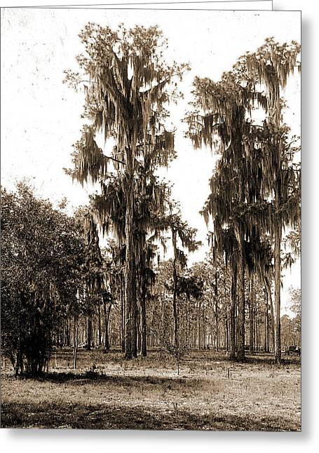 Florida Pines, Jackson, William Henry, 1843-1942 Greeting Card