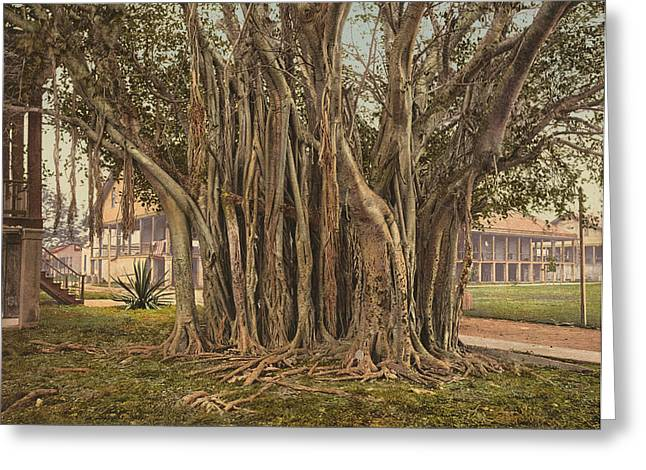 Florida Rubber Tree, C1900 Greeting Card by Granger