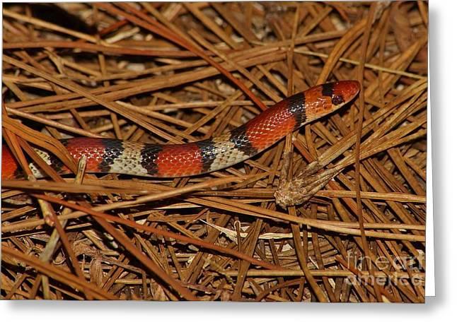 Florida Scarlet Snake Greeting Card by Lynda Dawson-Youngclaus