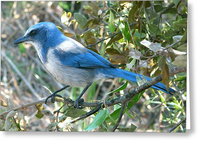 Florida Scrub Jay Greeting Card by Peg Urban