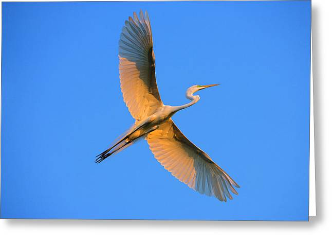 Florida, St Augustine Great Egret Greeting Card by Jaynes Gallery