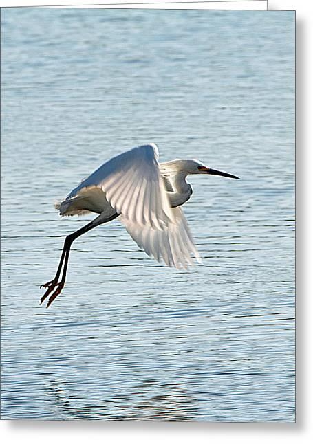 Florida, Venice, Snowy Egret Flying Greeting Card