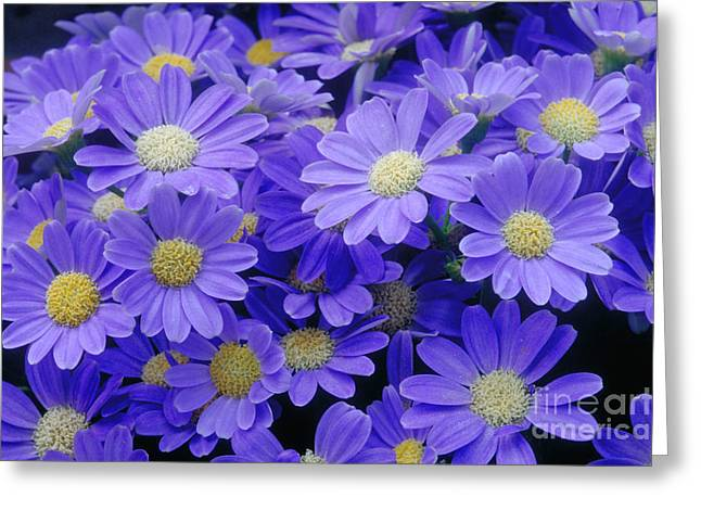 Florists Cineraria Hybrid Greeting Card by Geoff Bryant