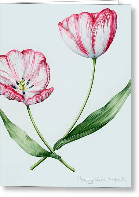 Florists Tulip Mabel Greeting Card by Sally Crosthwaite