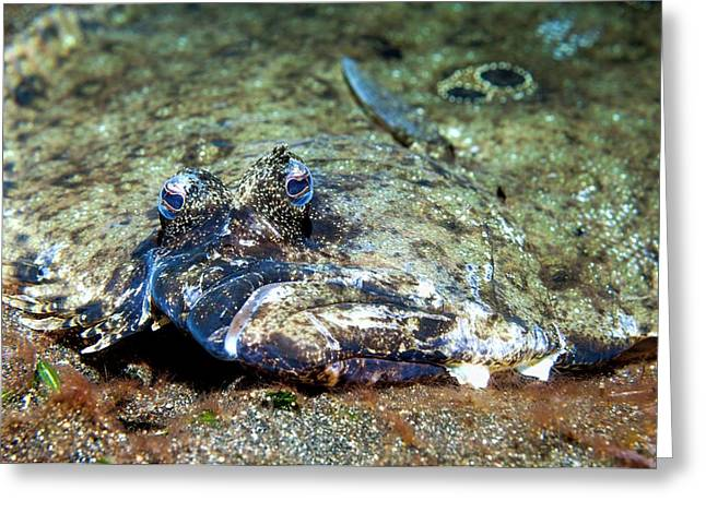 Flounder Camouflaged On A Reef Greeting Card by Georgette Douwma