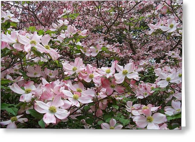 Flourishing Pink Magnolias Greeting Card