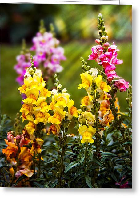 Flower - Antirrhinum - Grace Greeting Card by Mike Savad