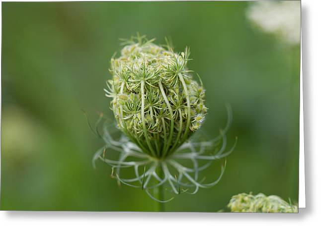 Greeting Card featuring the photograph Flower Bud by John Hoey