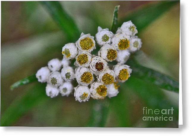 Greeting Card featuring the photograph Flower Buttons by Mae Wertz