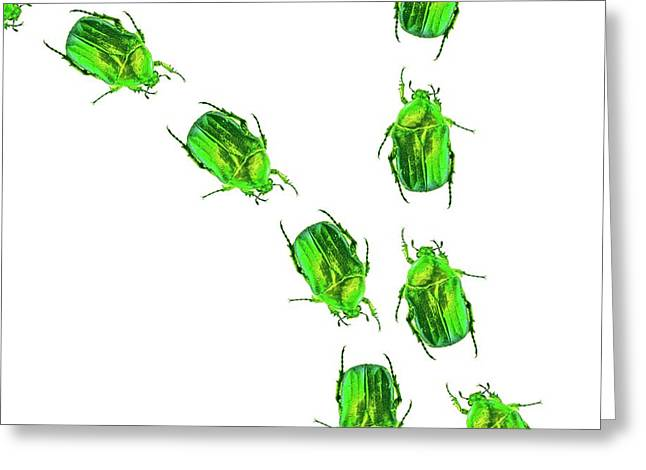 Flower Chafer Beetles Greeting Card by Gombert, Sigrid