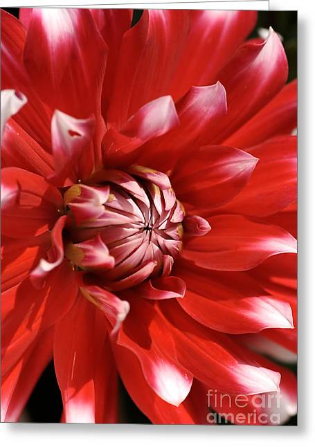 Flower- Dahlia-red-white Greeting Card