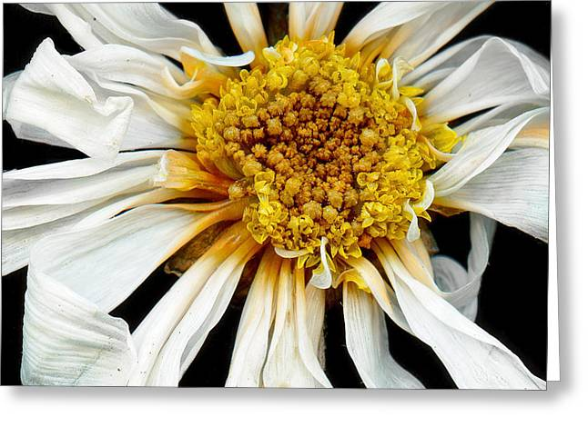 Flower - Daisy - Drunken Sun Greeting Card