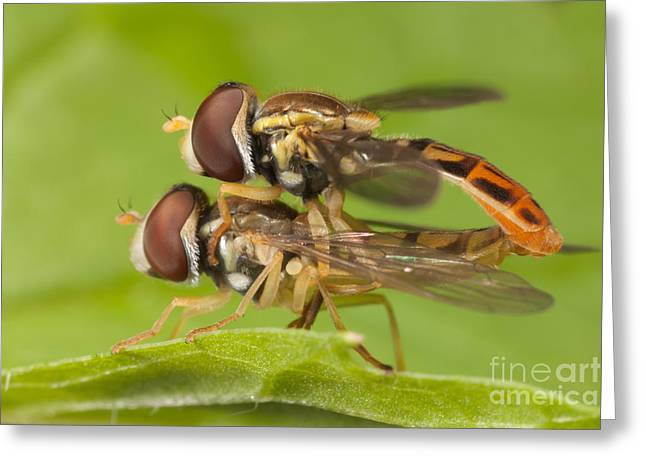 Flower Flies Mating Greeting Card by Clarence Holmes
