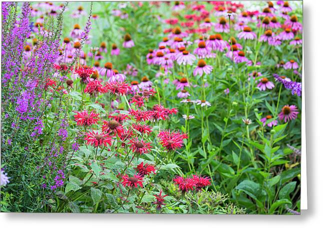 Flower Garden (purple Coneflowers, Red Greeting Card