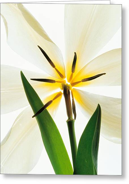 Flower Head, Lily Greeting Card